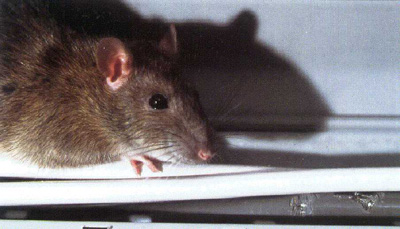 Rats In The Roof Imagine lying in bed when you suddenly hear this